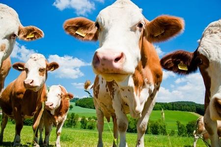 הפרות רמסו את היבול, בעל העדר חויב בפיצויים